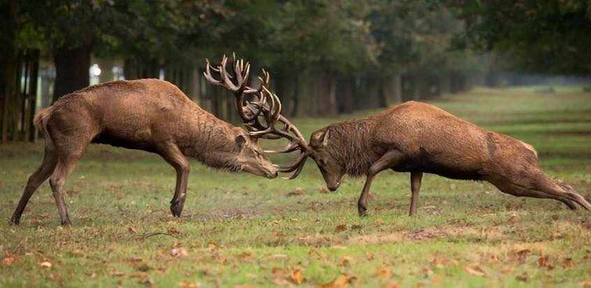 Fighting Animal Stags